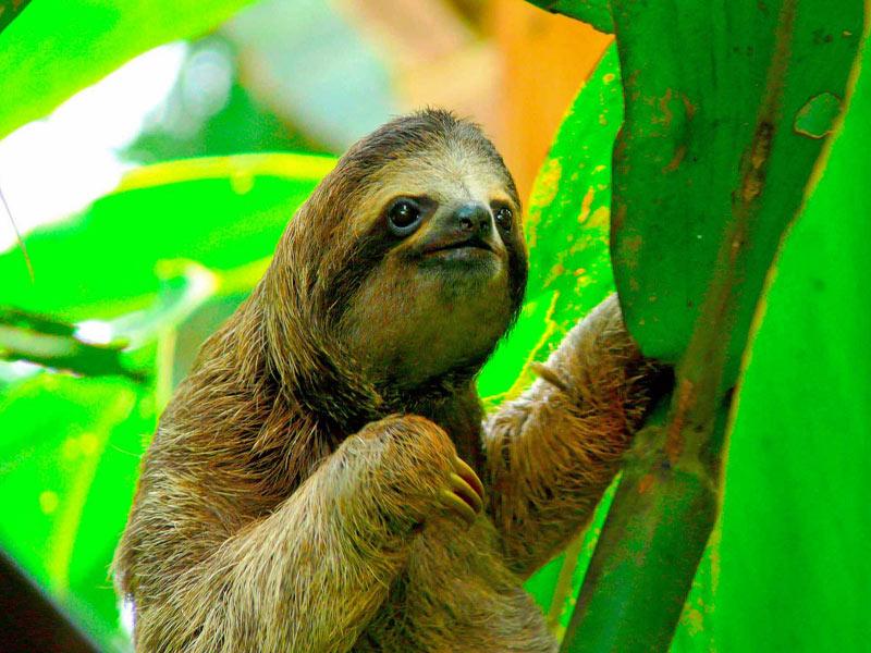 Singles en Costa Rica-Perezoso