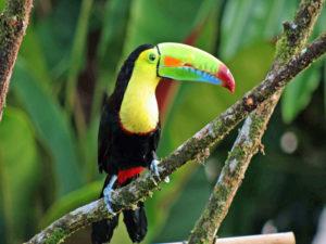 Tucan visita parque Nacional Tortuguero