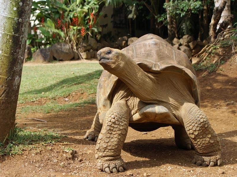 Tortuga gigante de Mauricio