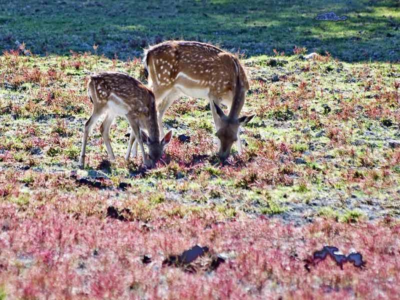 Excursión Parque Nacional Doñana, Ciervos